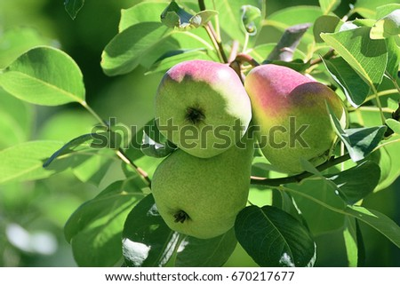 Three pears hanging on a branch of a tree in the orchard. Rural background with an empty copy space for Editor's text.
