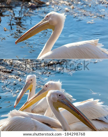 three pelican floating in the lake close summer day - stock photo