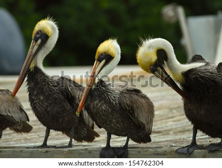 Three Pelicans on Dock - stock photo