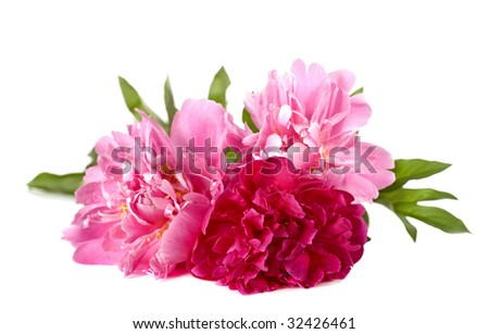 Three peonies on a white background - stock photo