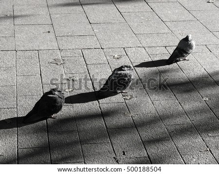 Three pigeons standing in line on urban city paving stones, facing the sun in autumn day. Artistic black and white portrait from Finland, Northern Europe