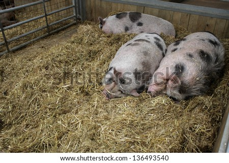 Three pigs sleeping in an enclosure - stock photo