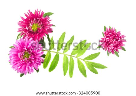 Three pink chrysanthemum isolated on white background - stock photo