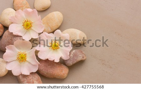 three pink flower wild rose on pink pebbles on a pink background, with space for posting information. Spa stones treatment scene, zen like concepts. Flat lay, top view - stock photo