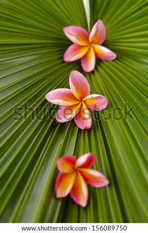 Three pink frangipani flowers and palm leaf texture - stock photo