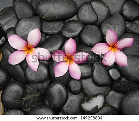 Three pink frangipani flowers on black pebbles         - stock photo