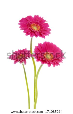 Three pink Gerber flowers over white background - stock photo
