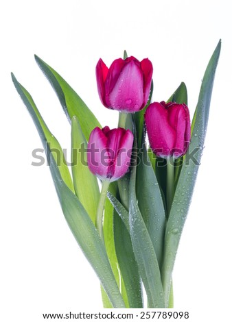 three pink tulips with green leaves collected in a bouquet on a white background