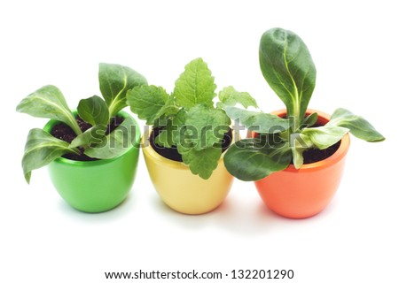 three plants in yellow, green and orange ceramic cup. Isolated on white background. Plant is  melissa.