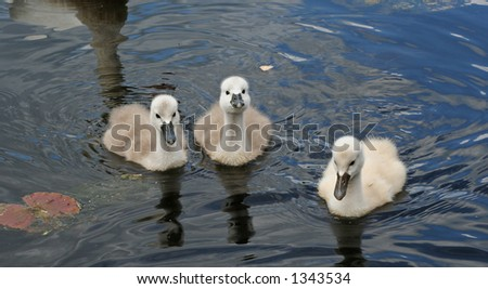 Three playful cygnets
