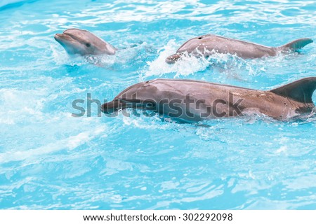 Three playful dolphins swim in the pool and perform commands instructor to perform tricks. - stock photo