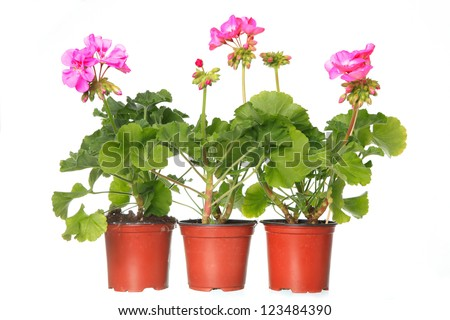 three pot with pink geraniums isolated on a white background - stock photo