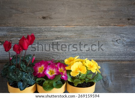Three Pots of Spring Flowers, primroses and cyclamen, in lower corner against rustic wood board wall background with room or space for copy, text, your words. Horizontal above view, looking down. - stock photo