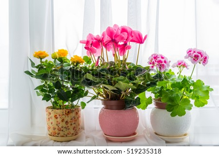 Three potted flower stand on windowsill in curtains background