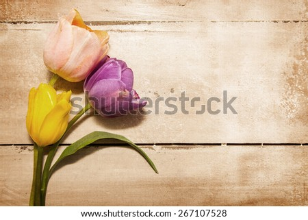 Three pretty pastel color tulip flowers laying on an old wood table. Antique textured filter effect applied. - stock photo