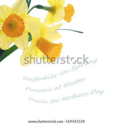 Three Pretty Yellow Daffodils Isolated on White Background with blank space or room for copy, text, or your words.  Cross processed for fresh country look. - stock photo