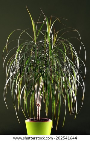 Three-pronged Dragon Tree spectacular light dark green background.Portrait format. - stock photo