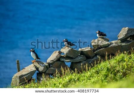 Three puffins - stock photo
