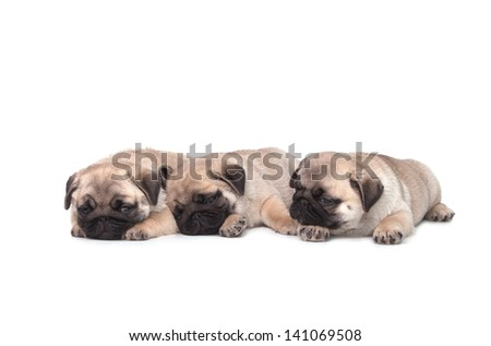Three pug puppy on white background