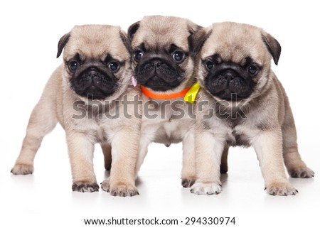Three pug puppy standing and looking at the camera (isolated on white) - stock photo