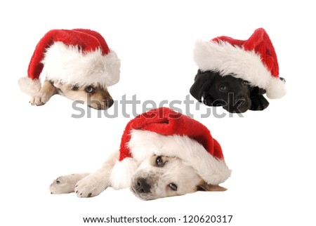 Three puppies in Santa Hats on White, Christmas theme.