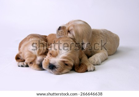 Three puppies of American cocker spaniel on a white background. Two weeks old.  - stock photo