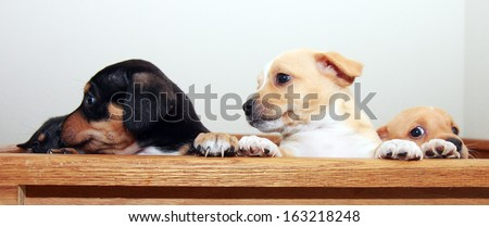 Three puppies, one playing peek-a-boo - stock photo