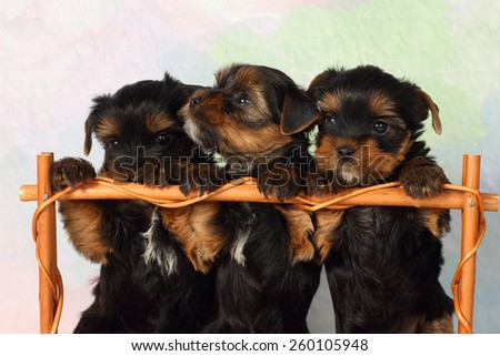 Three puppies Yorkshire terrier in a basket - stock photo
