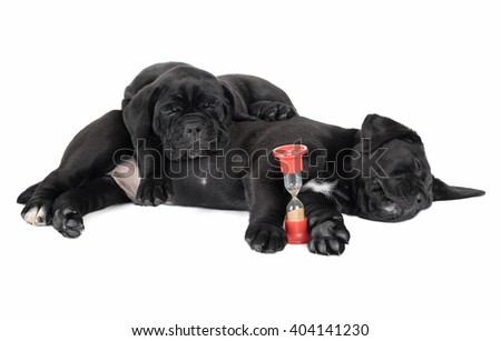 three puppy cane Corso on a white background in the Studio - stock photo
