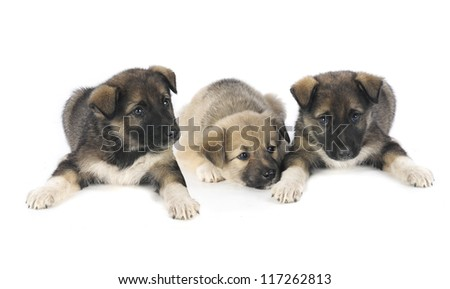three puppy of 1,5 months old on a white background