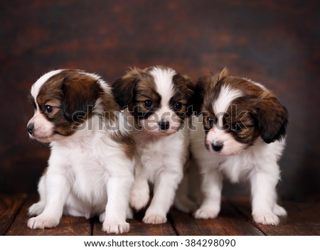three Puppys papillon breed on dark background - stock photo