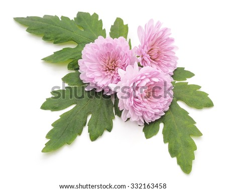 Three purple chrysanthemums on a white background.