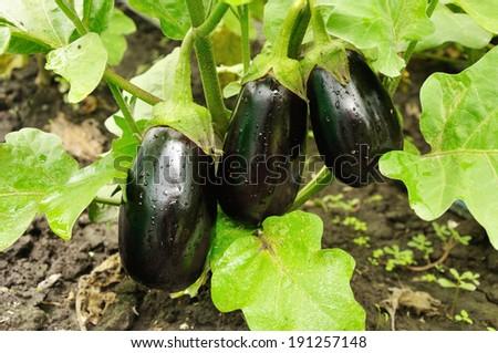 three purple eggplants growing on the bush - stock photo