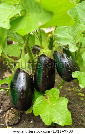 Three purple eggplants on the bush with water drops - stock photo