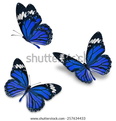 Three purple monarch butterfly, isolated on white background