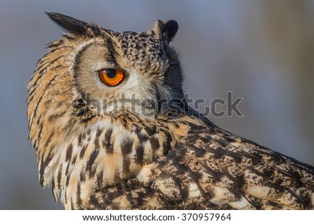 three quarter profile close up portrait of a Eurasion eagle owl staring to the right - stock photo