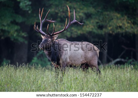 Three quarter Profile Male Elk with antlers