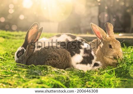 Three rabbits eating green grass on Sunlight - abstract - stock photo