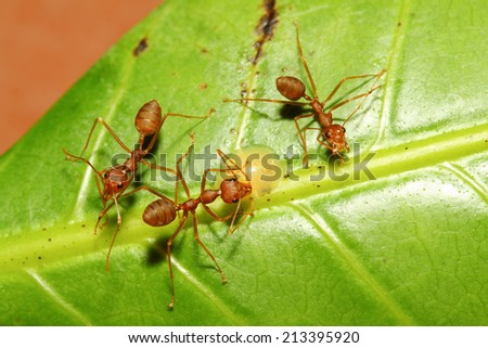 Three red ant on green leaf in garden - stock photo