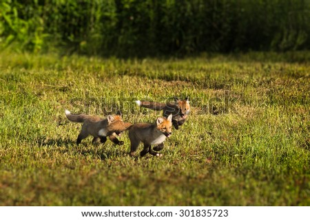 Three Red Fox Kits (Vulpes vulpes) Run Through the Grass - captive animals