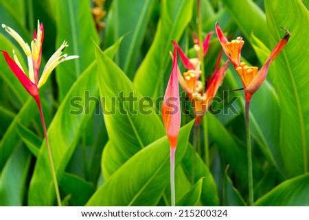 Three Red Heliconia  - stock photo