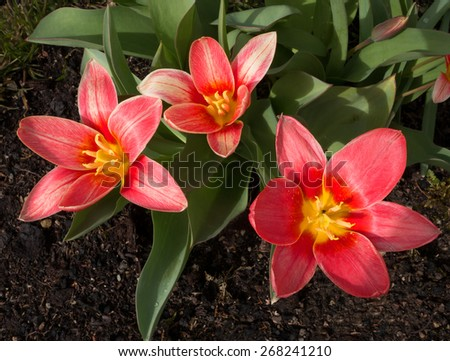 Three red tulips mit slightly white pattern and yellow receptacle  bloom wide open in a flower bed in the garden, taken in close-up. - stock photo