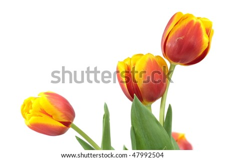 Three red-yellow tulips isolated on white
