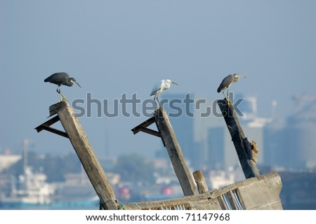 Three Reef Egrets on modern city background/A lot of egrets and herons find their comfortable environment at the Gulf cities ports. - stock photo