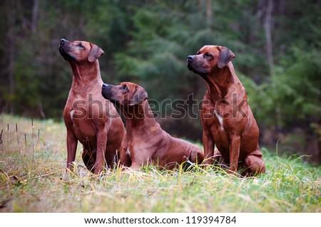 three rhodesian ridgeback dogs obedience - stock photo