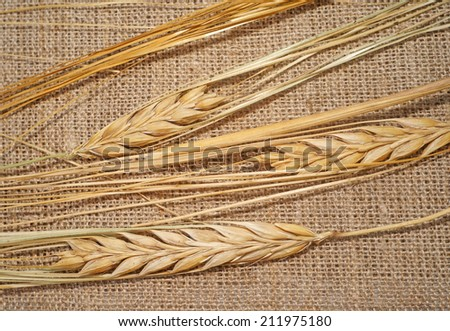 Three ripe wheat spikelets on sacking