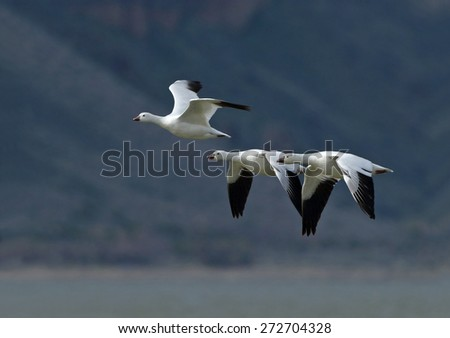 Three Ross's geese fly into the sun over Tule Lake with a dark mountain side in the background. - stock photo