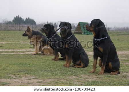three rottweilers and their muzzle and one german shepherd