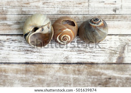Three round sea shells in a row on blurred, distressed white wood background. Copy space under the shells.