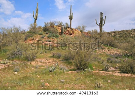 three saguaros on a hill